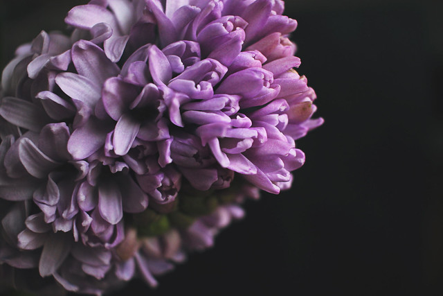 IMG_3535ed, The Curly Head, thecurlyhead, amelie, spring, hycinthus, hyazinthen, shoot, dark background, blog, photography, still life, flower, flowers