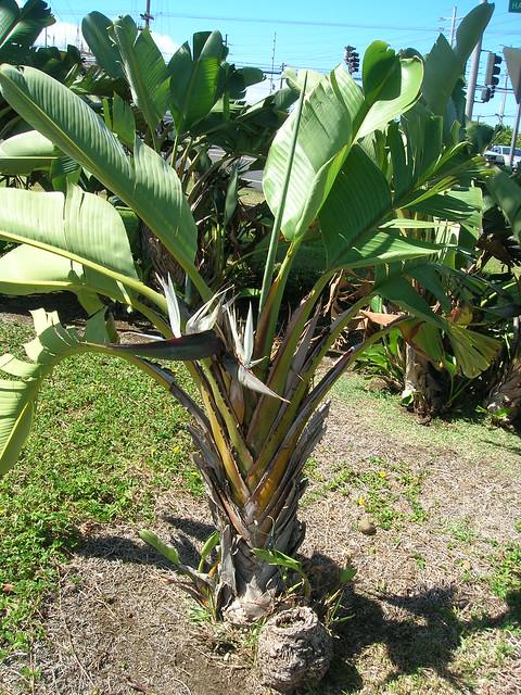 starr-060909-8797-Strelitzia_nicolai-habit-KMart_Kahului-Maui