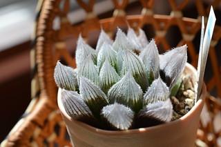 DSC_1094 Haworthia cooperi var. venusta ハオルチア ベヌスタ