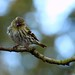 Female Siskin by Mrs Airwolfhound