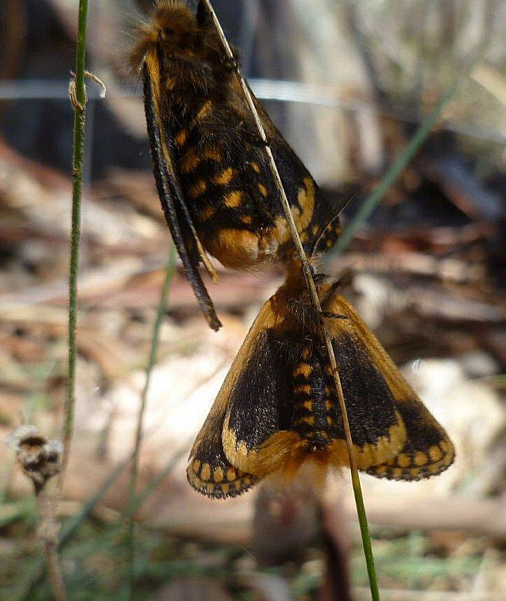 Tiger Moths ventral view