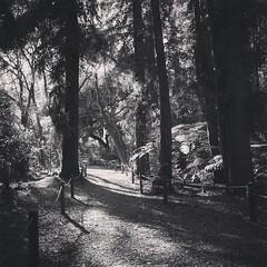 Into The Woods #tree #trees #nature #outdoors #woods #sunlight #sunset #plants #garden #gardenersnotebook #bw #blackandwhite #blackandwhitephotography