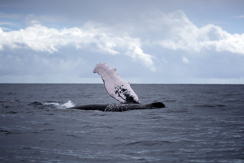 humpback pec slapping