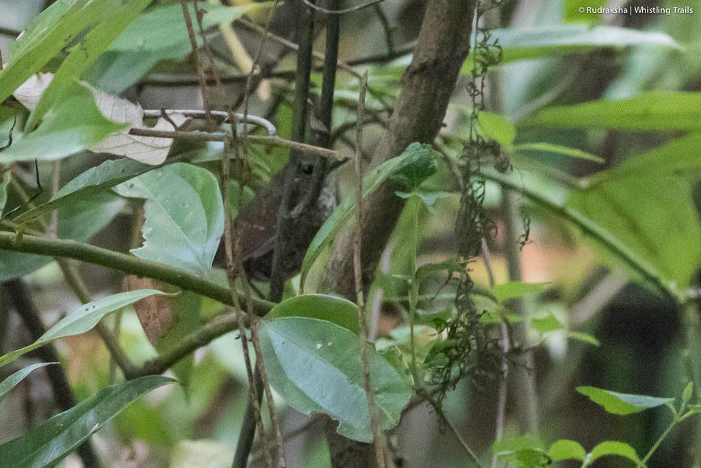 Pygmy Wren Babbler (record shot)