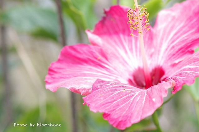 南の島の花代表!?ハイビスカス。