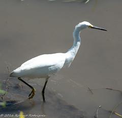 Egretta thula-snowy egret ( PAN)