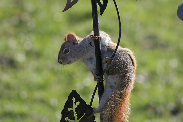 Red Squirrel  (pole)