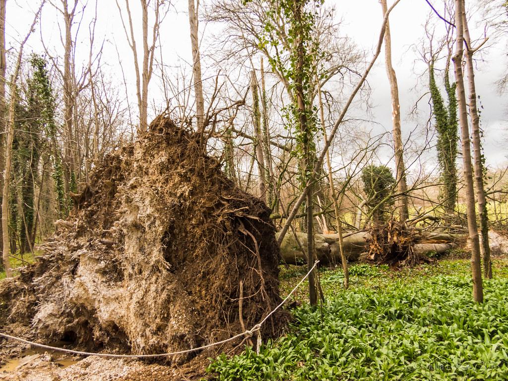Fallen beech tree in the Woodland Walk