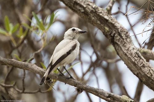 White Monjita (Xolmis irupero), Rio de Pedras near Canudos, Bahia, BR, 20160114-104.jpg