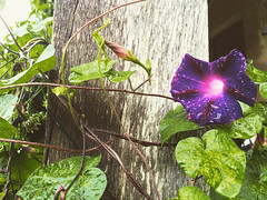 flower and vine - Photo of Montet-et-Bouxal