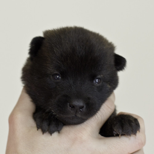 Kumi-Litter5-Day20-Puppy1-Female-a