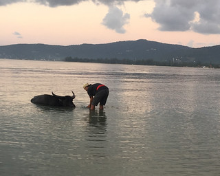 20160108_3883-bathing-water-buffalo-cropped