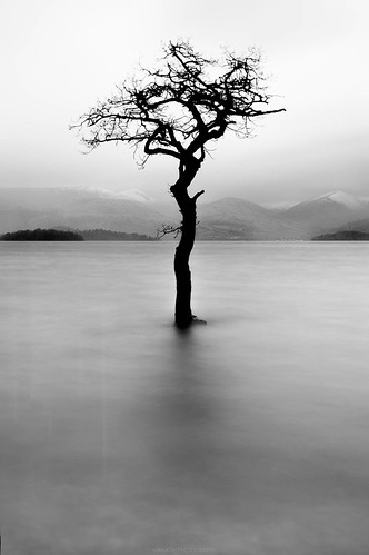 Tree at Milarrochy Bay