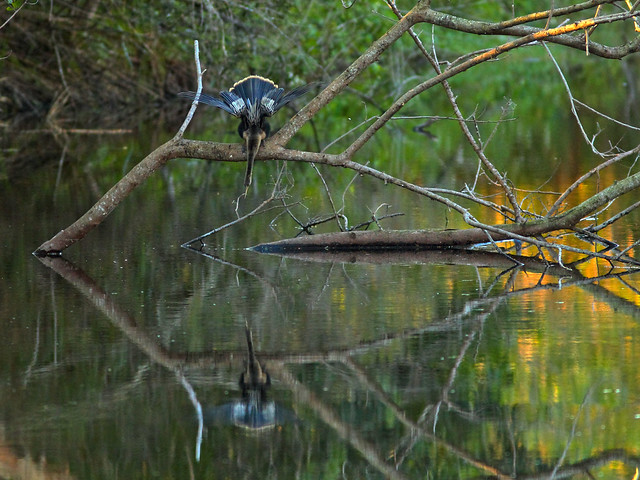 Anhinga reflection HDR 20160226