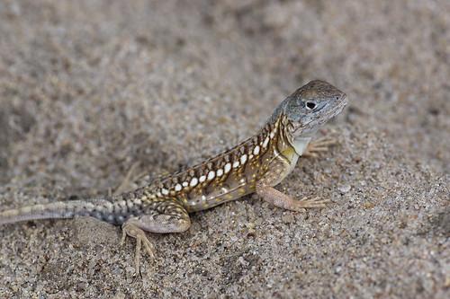 chalaradonmadagascariensis