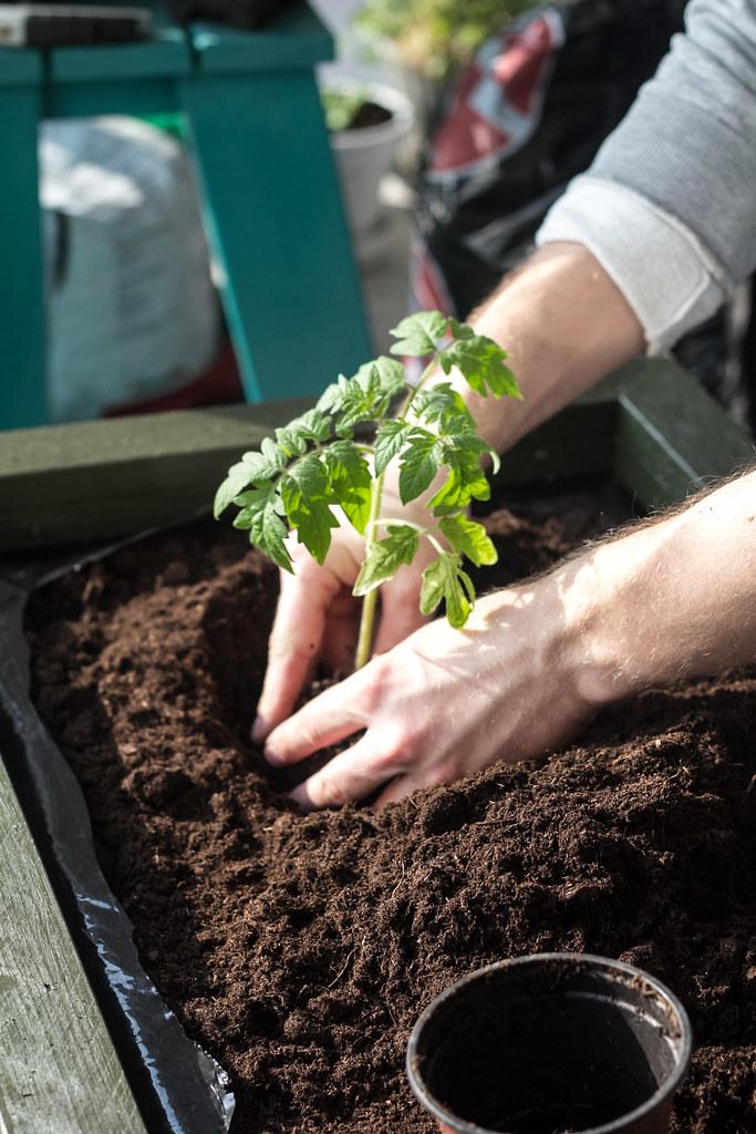 Udplantning af tomatplanter