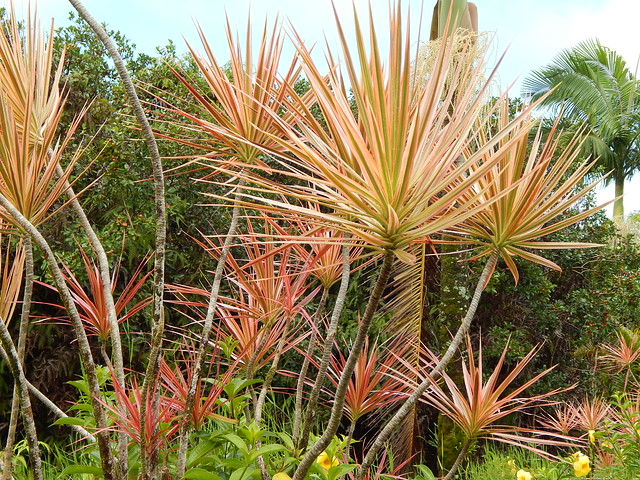 starr-141027-2656-Dracaena_marginata-pink_habit-Nahiku-Maui