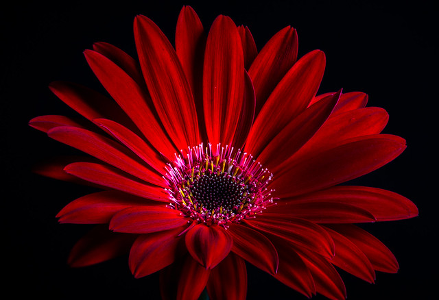 Gerbera is one of my favorite