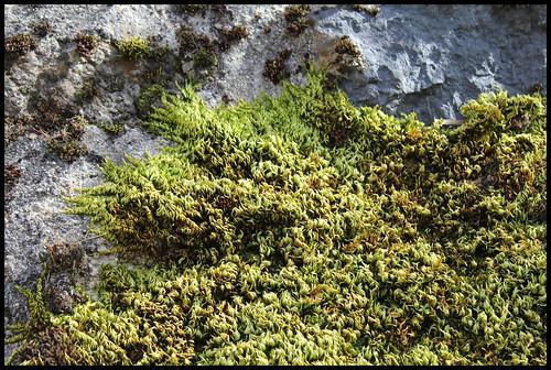 Homalothecium sericeum (7)