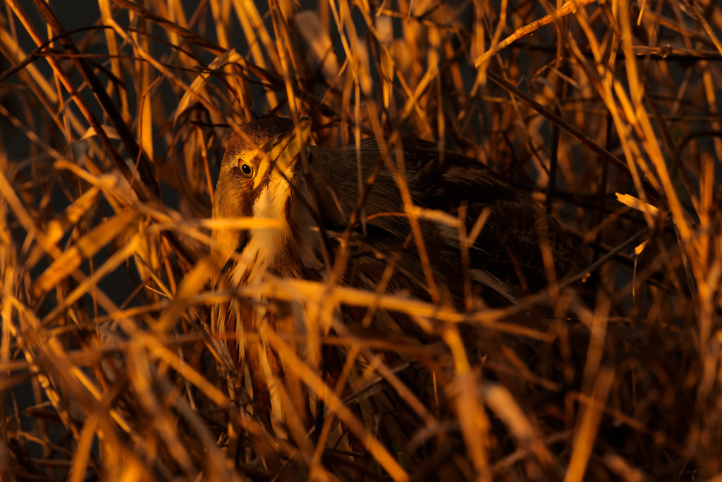 An American bittern in tall grasses at sunset