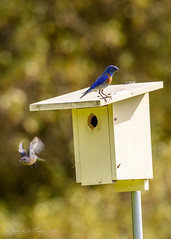 Western Bluebirds at nest site