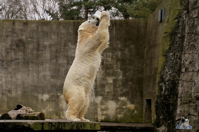 Eisbär Fiete im Zoo Rostock 12.03.2016   023