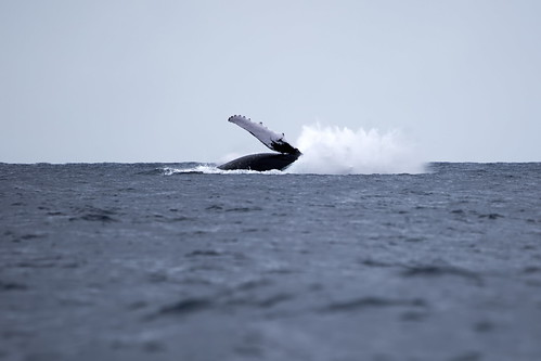 humpback breeching