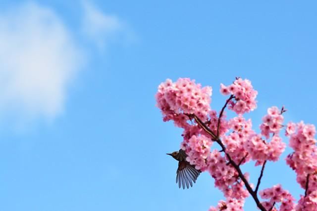 陽光桜から羽ばたくヒヨドリの写真