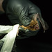 Biologists from several different state and federal agencies are partnering to help bats in Alabama. They survey different areas for bats to monitor health and populations. Bats may be banded or tagged with radio transmitters. The presence of white-nosed syndrome, which has been found in Alabama bats, causes an elevated level of concern for this beneficial mammal.