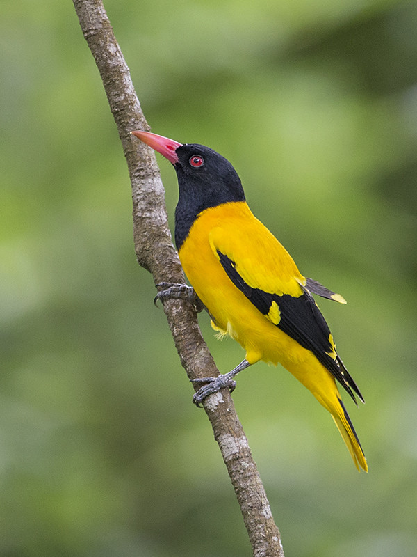 Black-hooed Oriole 2