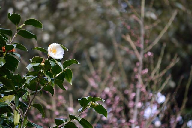 ツバキ Camellia