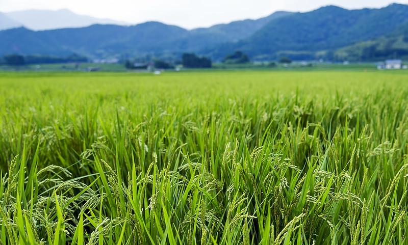 Kyoto rice field