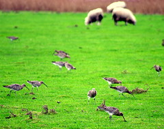 Curlews and sheep.