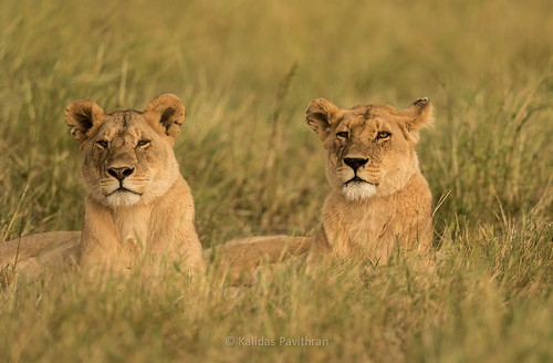Lionesses in Masai Mara