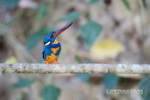 bulacan kingfisher shama drt bayabas luzoniensis ceyx indigobandedkingfisher cyanopectus puningcave ceyxcyanopectus doñaremediostrinidad pugadnijonet puningtrail ndigobanded