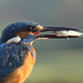 Kingfisher With Fish by karthik Nature photography