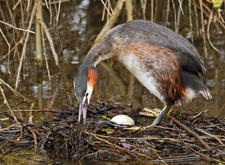 A Great Crested Grebe.