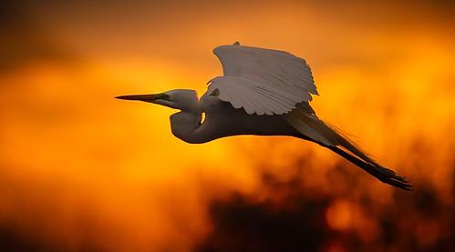 phoenix sunrise fire greategret goldenhour bolivarpeninsula highisland