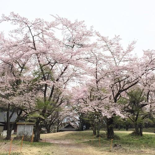 桜吹雪が哀愁をそそる