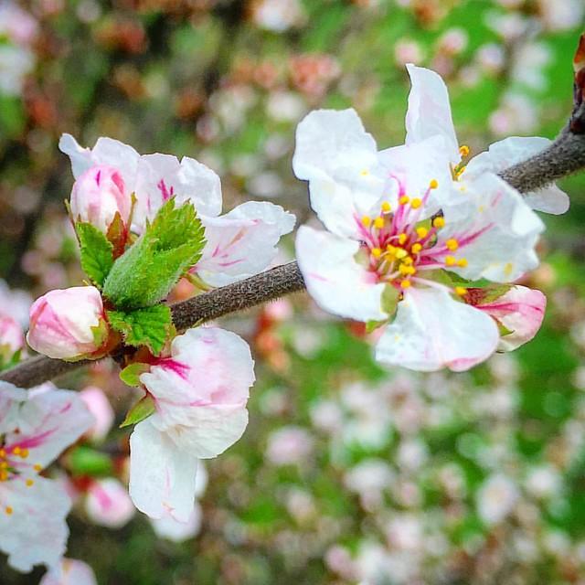 #flower #flowers #spring #spring2016 #springflowers #floral #ponyfony_flowers #quintaflower #petal #petals #bloom #pink #white #flowerstagram #floweroftheday #flowersofinstagram #flowerslovers #flowerpower #floweroftheday #nature #natureofukraine #naturea