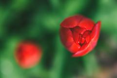 Red Tulip | Spring 2016