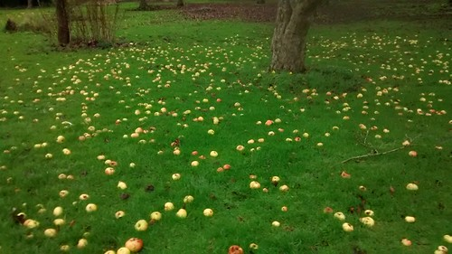 windfall apples Dec 15 (3)