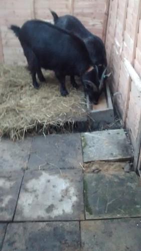 goats Jan 16 1