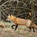 RED FOX by sea25bill