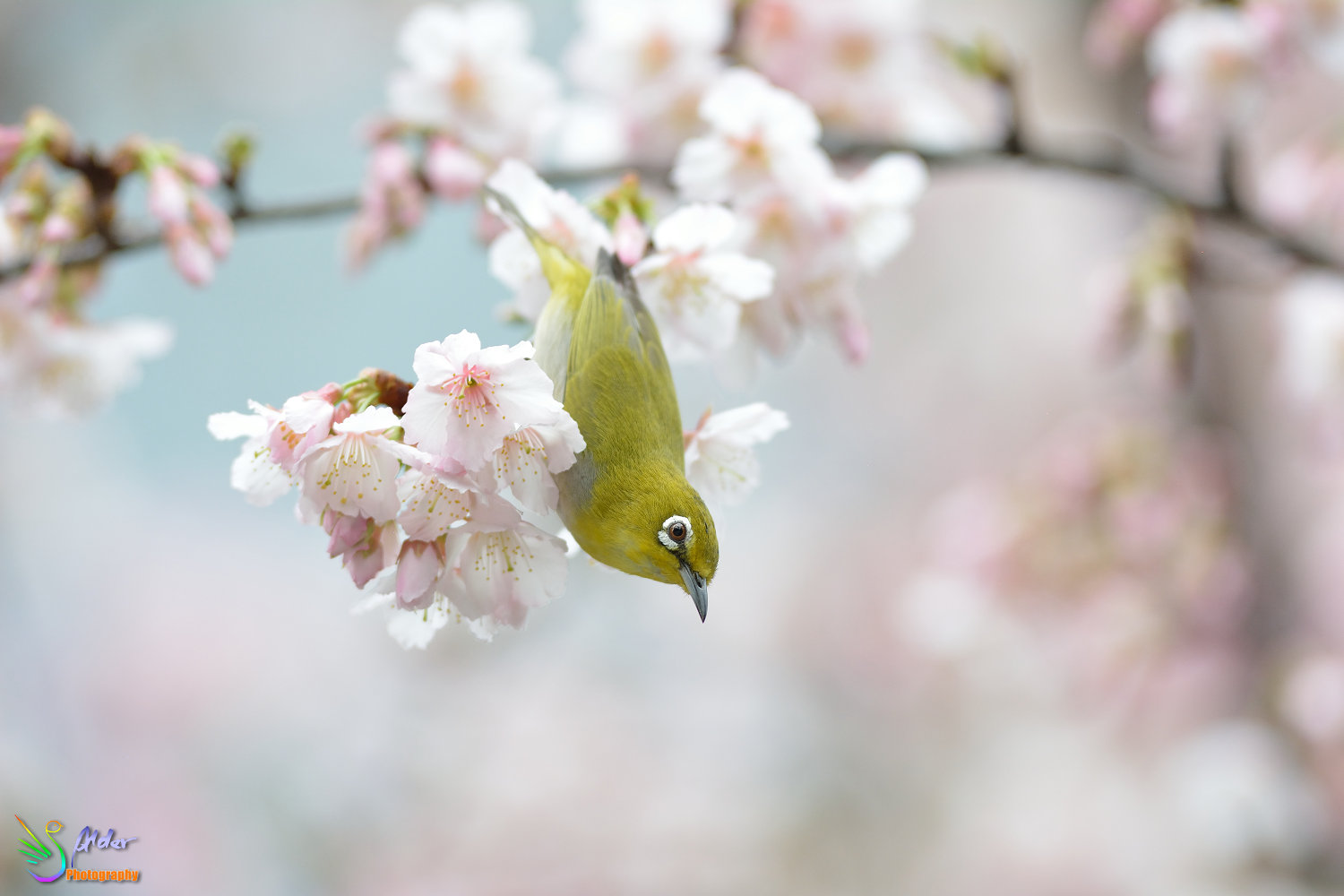 Sakura_White-eye_6816