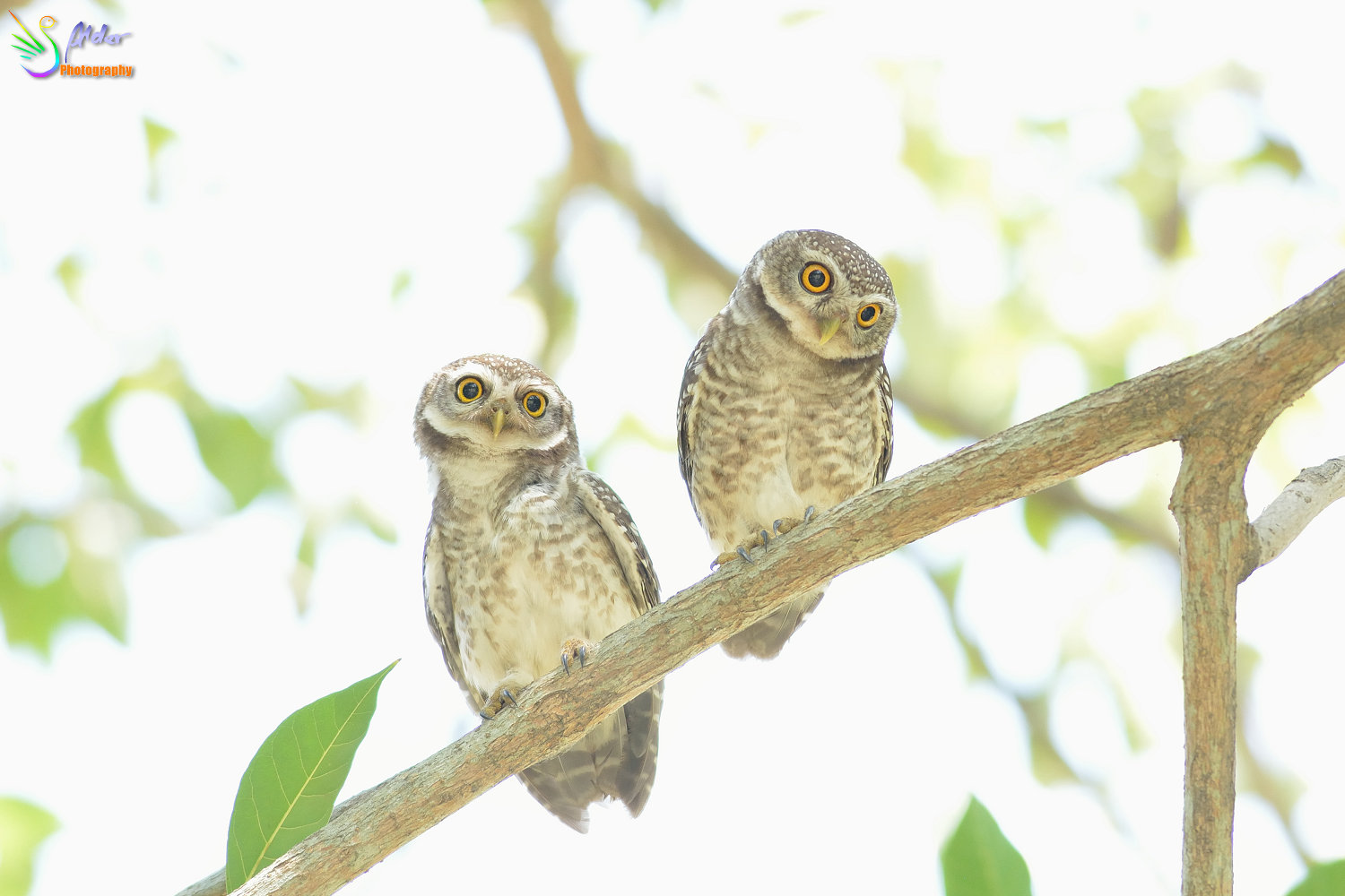 Spotted_Owlet_2823