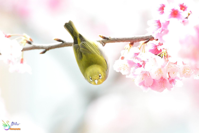 Sakura_White-eye_7734