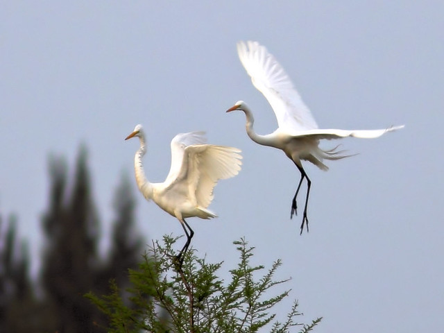 Great Egret duo HDR 03-20160313
