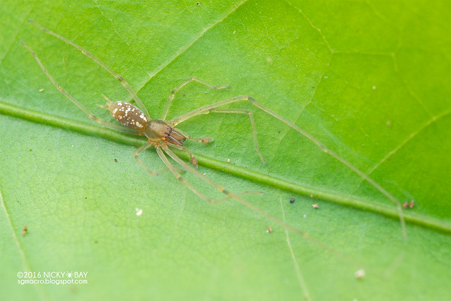 Long-legged sac spider (Calamoneta sp.) - DSC_6343