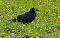 Rook (Corvus frugilegus) - Photo of Fleuré